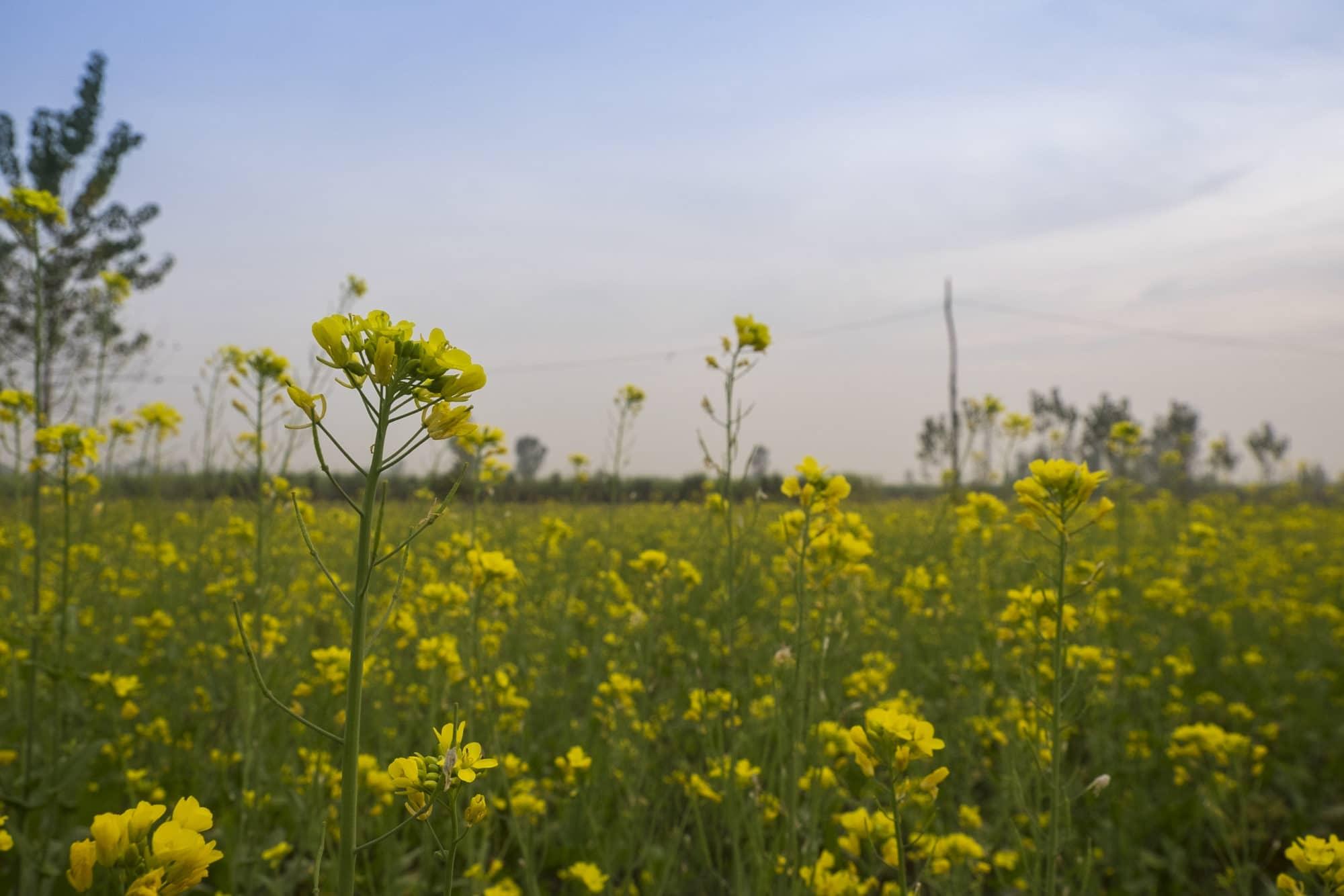 Mustard fields Punjab.jpg