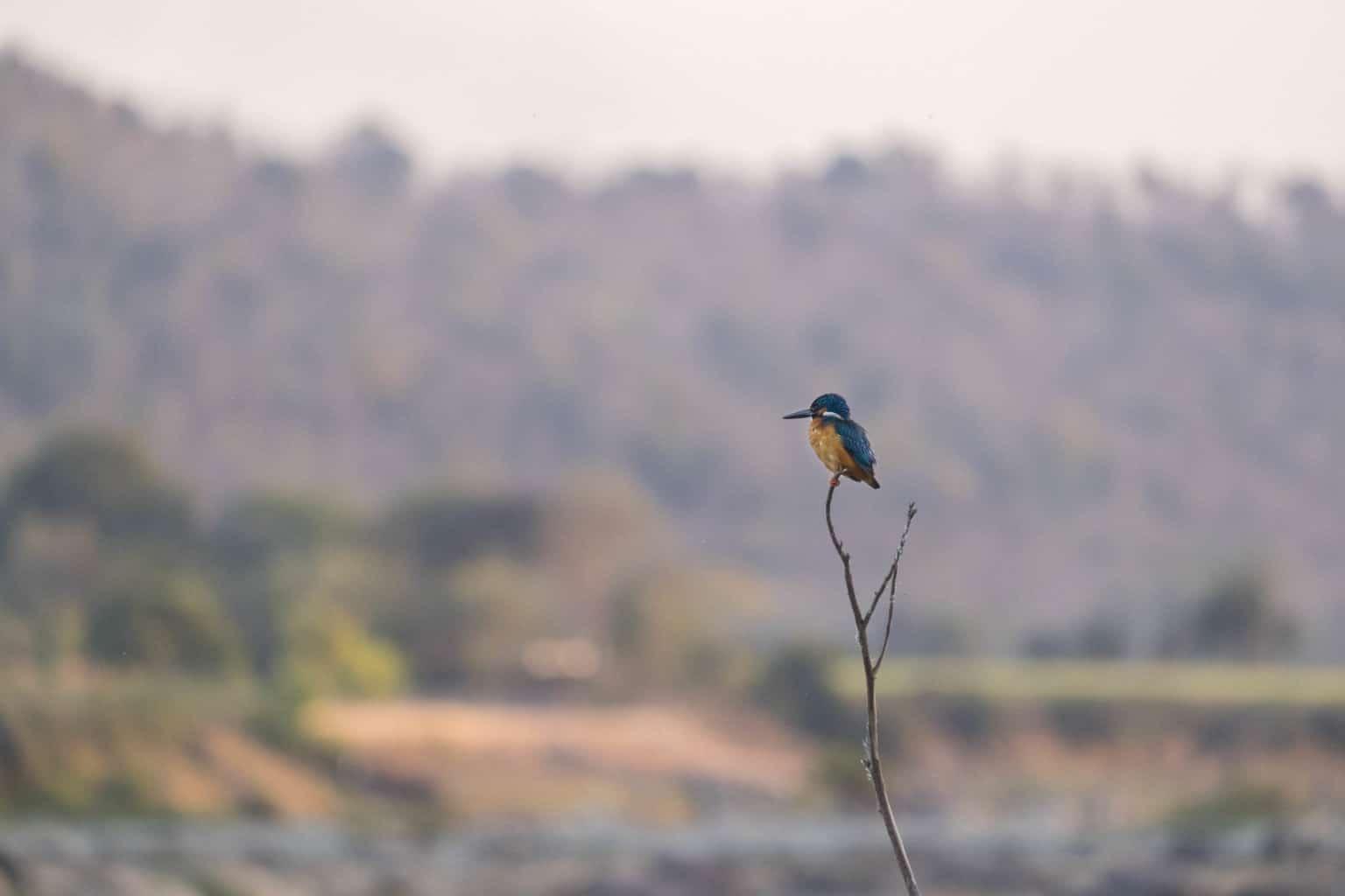 Kingfisher Ken River, Panna