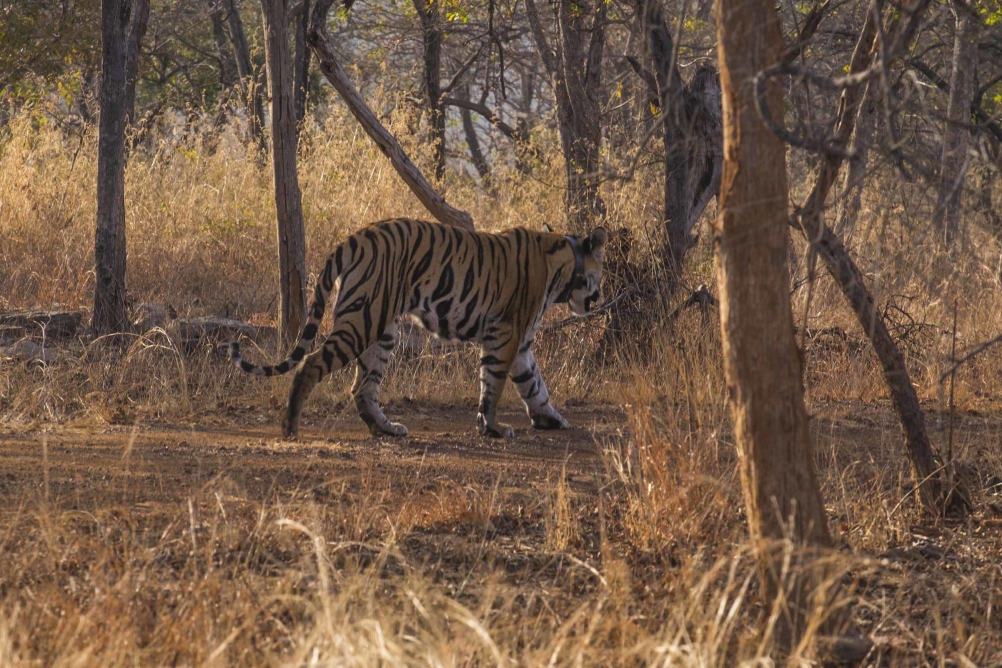 Tiger Panna National Park