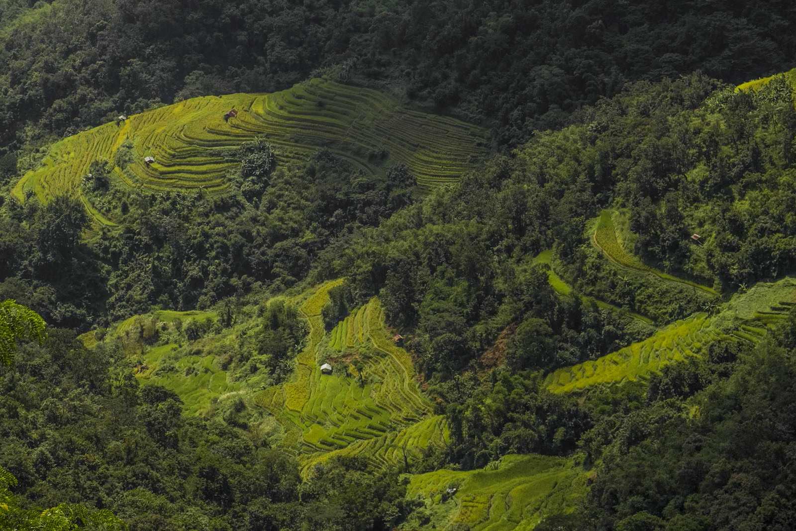 paddy fields nagaland