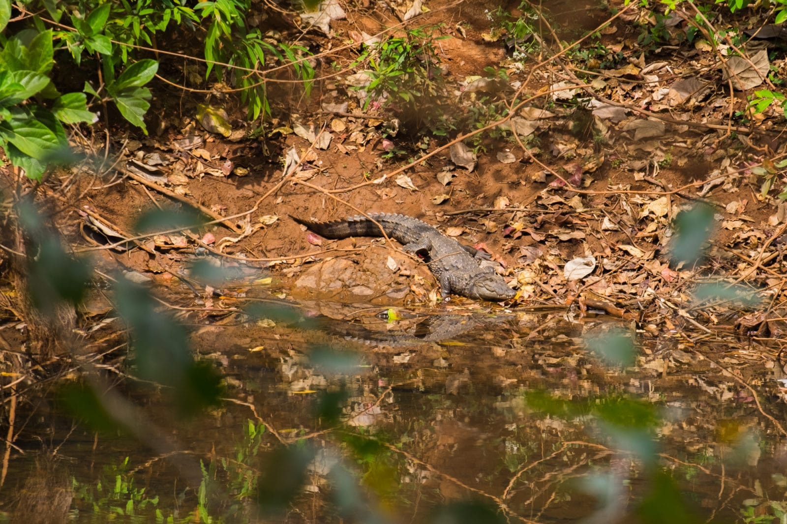 Crocodile at Panhalkaji caves